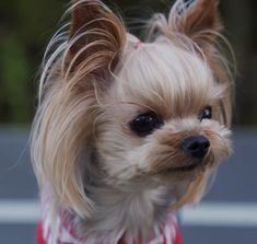 Yorkie Haircuts, Yorkies, Yorkshire Terrier, Tequila, Aurora, Cute Dogs, Hair Cuts, Puppies, Animals
