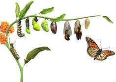 caterpillar to butterfly transformation drawing google search rh pinterest com Caterpillar to Butterfly Puppet Craft Caterpillar Cute Butterfly Clip Art