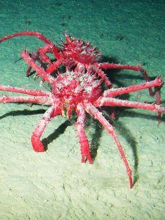 King Crabs in Antarctic
