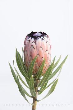 Australian Native Flowers, Australian Plants, Australian Garden, Botanical Flowers, Flowers Nature, Beautiful Flowers, Spring Flowers, Waratah Flower, Protea Flower