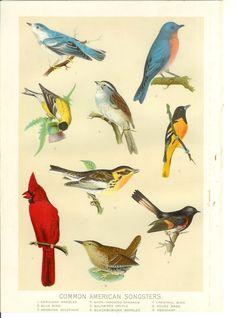 1905 Vintage Bird Print by Holcroft on Etsy, $7.50