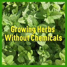 Growing Herbs Without Chemicals