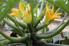 Alles was man über Zucchini wissen muss steht in diesem Artikel!