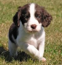 English Springer Spaniel // someday!