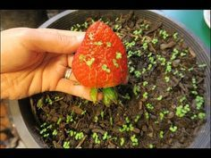 Gardens Discover Cách ươm hạt dâu tây ở Mỹ.How to grow strawberries from seed. Regrow Vegetables, Container Gardening Vegetables, Growing Vegetables, Fruit Garden, Edible Garden, Vegetable Garden, Garden Plants, Hydroponic Gardening, Organic Gardening