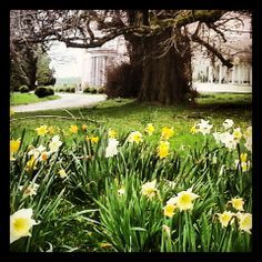 Lots and lots of daffodils at Longueville House