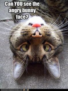 Can you see the angry bunny face NOW? #cat #animal #humor #funny #lol