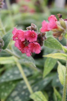Lungwort /Pulmonaria 'Raspberry Splash', 12in tall, zone~4