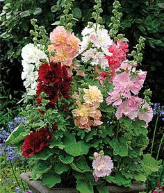 Hollyhock - Gardening Tips and Advice available from Annual Flowers at Burpee.com