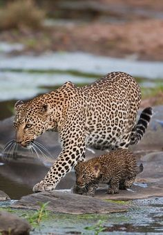 Mama Leopard & Her Baby