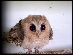 Baby Owl, what? Baby Owl, Who? 20 Animal Babies That Are Cuter Than People Babies Baby Owls, Baby Animals, Cute Animals, Animal Babies, Elf Owl, Owl Always Love You, Tier Fotos, Cute Owl, Big Eyes