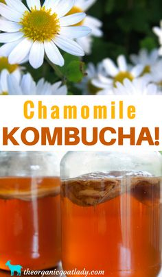 Are you looking for a new kombucha flavor? Then you need to try Chamomile Kombucha! The amazing benefits of Chamomile combined with the benefits of kombucha are amazing! This is a wonderful herbal kombucha! Best Kombucha, Diy Kombucha, Kombucha Flavors, Kombucha How To Make, Best Probiotic, Probiotic Foods, Fermented Foods, Making Kombucha, Chamomile Recipes