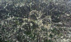 kwitnący krzew chyba to tarnina ;)
