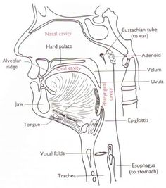 articulatory system diagram - Google Search
