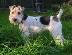 Wire Fox Terrier.... miss my Zack.