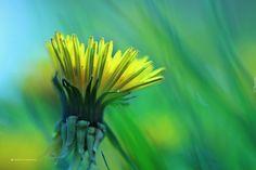 Mniszek Pospolity, Żółty, Kwiat, Mlecz