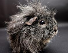 Guinea Pig! How Cute Is His Hair.....
