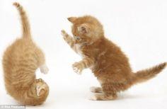 Mèo con chơi nhào lộn