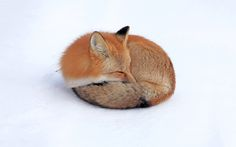 Red fox sleeping Wallpapers Pictures Photos Images