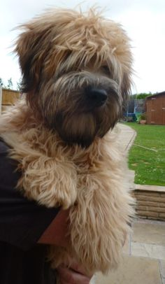 Ted the Soft Coated Wheaten Terrier aged 24 weeks.....