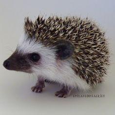 Prickle Pets: The Scoop On Poop: Litter Box Training A Hedgehog