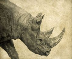 Black Rhinoceros I / Diceros bicornis / 2008 / 52 x 61 cm / Pencil on panel Amur Leopard, Snow Leopard, African Bush Elephant, Panthera Pardus, Tiger Ii, Wild Creatures, Siberian Tiger, Animal Sketches, Animal Paintings