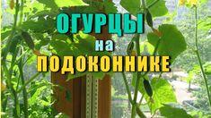 Огурцы на Подоконнике — выращивание ранней весной.