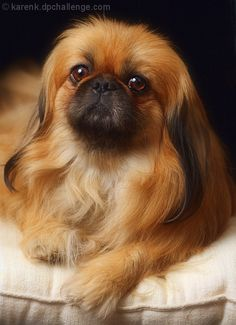 A Pekinese - looking like a dog. I don't like the breed standard cut which makes them look like ugly catterpillars.