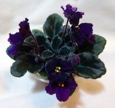 african violet Jolly Magic semi-miniature  plant in pot #africanviolet