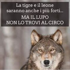 ********The tiger and the lion will also be stronger but the wolf can not find it at the circus Quotes Thoughts, Words Quotes, Italian Quotes, Savage Quotes, She Wolf, My Mood, Good To Know, Animals And Pets, Life Lessons