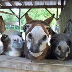 Forever Home Donkey Rescue Farm Animals, Animals And Pets, Funny Animals, Cute Animals, Wild Animals, Cute Donkey, Mini Donkey, Donkey Funny, Beautiful Horses