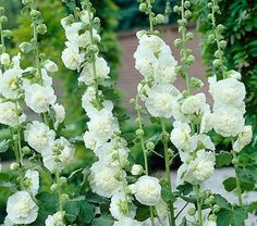 Accentuate your garden with beautiful towering Hollyhocks in a variety of colors. Browse Hollyhock flowers also known as Alcea from White Flower Farm.