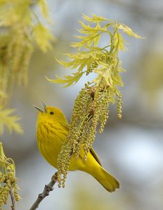 unidentified yellow bird (maybe an American yellow warbler) with oak leaves & blossoms. -LW --- Yellow bird of happiness or Hope.that thing with feathers Kinds Of Birds, All Birds, Little Birds, Love Birds, Pretty Birds, Beautiful Birds, Animals Beautiful, Beautiful Gorgeous, Beautiful Morning