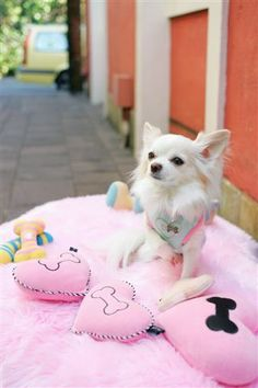 Fifi & Romeo. Chilly and his toys. #dog fashion #poodle #chihuahua #dog toys #recycled