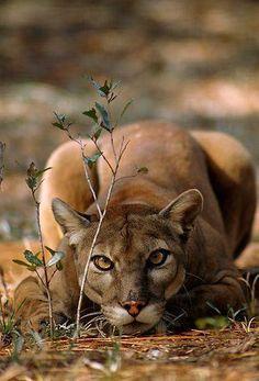 Gorgeous Mountain Lion
