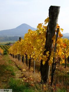 Places Around The World, The Places Youll Go, Around The Worlds, Fall Harvest, Autumn, Wine Vineyards, Hungary, Beautiful World, Budapest