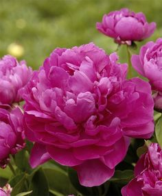 "Peony Riches and Fame - herbaceous  This floriferous hybrid yields gorgeous, fully Double, deep violet-pink flowers with strong stems.  three to five eyes for optimum flower production the first spring (some rootstocks may be trimmed of old wood to allow new root growth). Mid. (May/June.) 28"" to 30"" tall and 3' to 4' wide. HZ: 4-8."