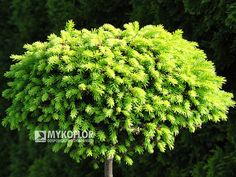 Picea abies Bary Mazayta