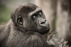 Assessing the Beliefs of Animals Los Primates, Human Memory, Working Memory, Wildlife Conservation, Animal Rights, Mammals, Habitats, Africa, Creatures