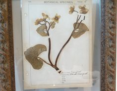 Pressed Botanical w/Field Notes, C. 1910 - Faded Rose Antiques LLC - Brands  One Kings Lane #Notes#Faded#Pressed