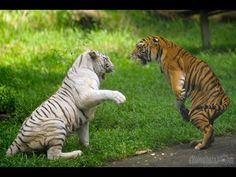 White Tiger Vs Black Panther HD 2015 - YouTube Black Lion, Awesome Anime, Black Panther, Big Cats, Lions, Cute, Animals, Image, Tigers