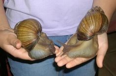 Giant African land snails. More pics at link.