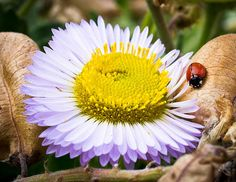 Interactions In Nature Photograph by Priya Ghose - Interactions In Nature Fine Art Prints and Posters for Sale #ladybug #daisy #photography