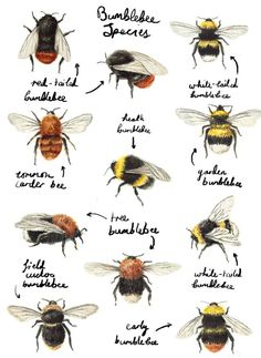 Find out who's buzzing round your garden, and stop killing what you think are wasps, because they are a form of a BEE. Illustration by Catherine Pape by shelby I Love Bees, Bee Art, Save The Bees, Bees Knees, Queen Bees, Bee Keeping, Artsy, Sketches, Butterfly