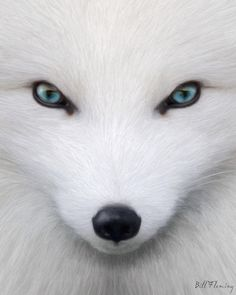 1000 images about arctic fox getting soon on pinterest arctic fox