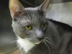 Manhattan NY.  Macchino.  Neutered 8 yr old male.  Dies in a.m.  See Pets in Death Row- Urgent Death on fb.