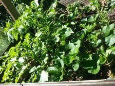 07.06.2014,  Kartoffeln wachsen im Erdbeerbeet