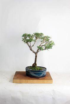 """Serissa Snow Rose Bonsai Tree """"Summer Indoor Collection by LiveBonsaiTree"""" by LiveBonsaiTree on Etsy"""