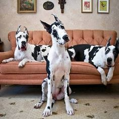 "Outstanding ""great dane puppies"" info is offered on our internet site. Read more and you will not be sorry you did. Cute Dog Costumes, Dog Halloween Costumes, Big Dogs, I Love Dogs, Cute Dogs, Giant Dogs, Costume Chien, Chien Halloween, Thor"