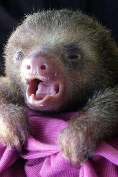 Baby sloth cutie